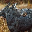 The Moose has Two Faces by Owed To Nature