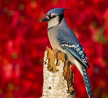 Blue Jay and a Flaming Autumn Background by Bill McMullen