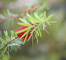 Bottlebrush by Bob Hardy
