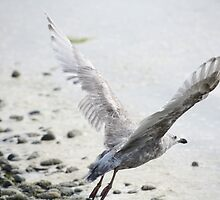 Gull At Birch Bay by Cindy-Lou Holland