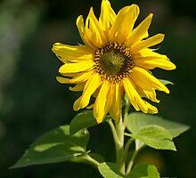 Sunflower by Sue Robinson