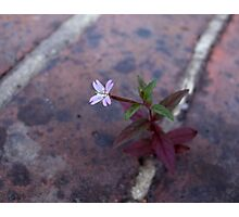 Broad-leaved Willowherb Photographic Print