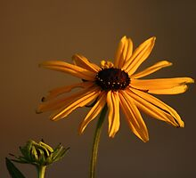 Black-Eyed Susan by Cindy-Lou Holland