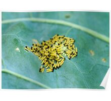 Caterpillars of Large White Butterfly Poster