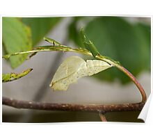 Empty Chrysalis case of Brimstone butterfly Poster