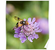 Hoverfly Volucella pellucens Poster