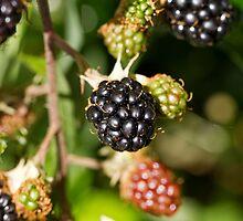 Blackberries by Sue Robinson