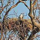 White Bellied Sea Eagle nesting - Haliaeetus Leucogaster by Margaret  Hyde