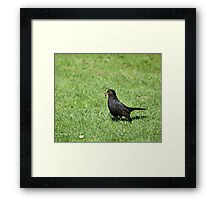 Blackbird with Worms Framed Print