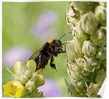 Bumblebee Climbing Poster