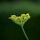 Fennel flower head by Sue Robinson