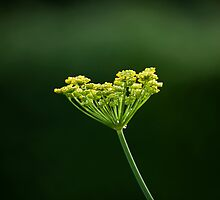 Fennel flower head by Sue Robinson