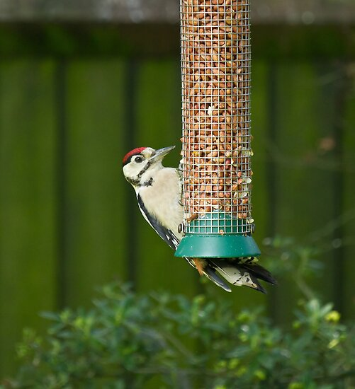 Great Spotted Woodpecker by Sue Robinson
