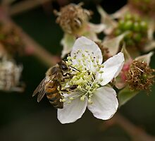 Honey Bee on White Flower by Sue Robinson