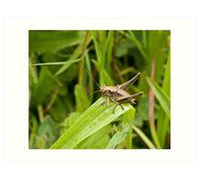Dark Bush-cricket Art Print