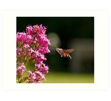 Hummingbird Hawk-moth Art Print