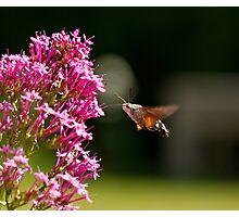 Hummingbird Hawk-moth Photographic Print