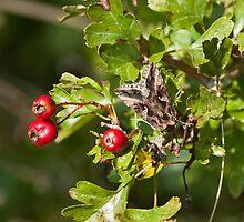 Silver Y Moth on Hawthorn by Sue Robinson