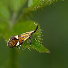 Micro moth Alabonia geoffrella by Sue Robinson