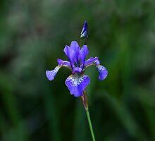 Blue Flag Iris by Sue Robinson