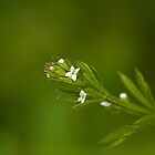 Cleavers wild flower by Sue Robinson