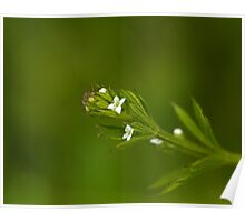 Cleavers wild flower Poster