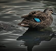 Pacific black duck by Jan Pudney