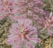 Mulla Mulla flowers, Ptilotus Atripicifolius Sticker