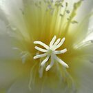 epiphyllum - george french by Floralynne