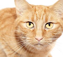 Relaxing Ginger Cat by Michael Hollinshead