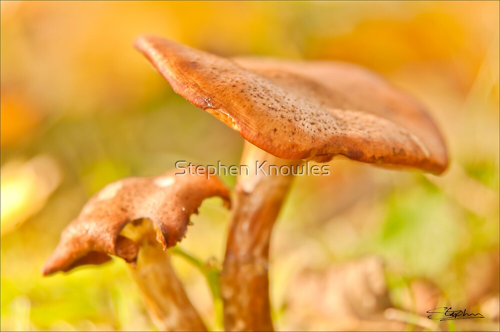 Autumn Toadstools by Stephen Knowles