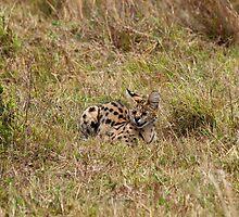 Serval on the Masai Mara by Sue Robinson