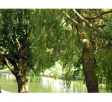 Willow trees Photographic Print