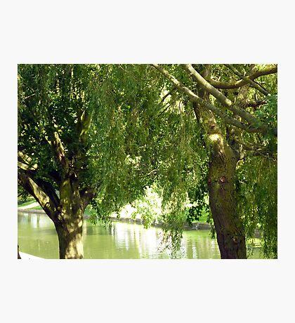 Willow trees Photographic Print