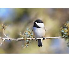 Cedar Rose Chickadee Art Photographic Print