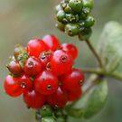 Honeysuckle Berries by marens