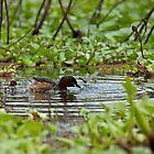 Little Grebe on Lake Naivasha by Sue Robinson