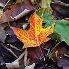 Maple Leaf by bep111