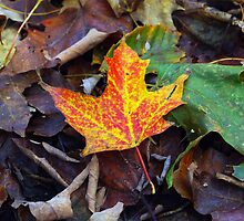 Maple Leaf by bep111