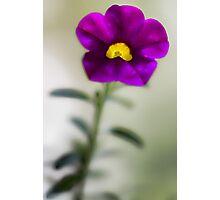 The Light Inside -- Calibrachoa Blossom Photographic Print