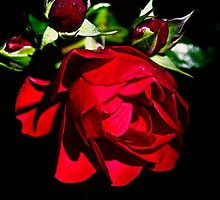 Roses waiting to come out by tonyporter