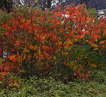 Sumac Panorama by Wayne King