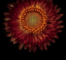 A strawflower by alan shapiro