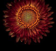A strawflower by alan shapiro