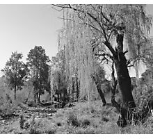 Black & White Willow Photographic Print