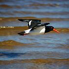 Pied Oyster Catcher on the wing by Karen Eaton