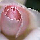 Dreamy Rose by Joy Watson