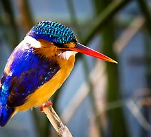 AFRICAN PIGMY KINGFISHER by RonelBroderick