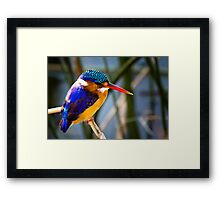AFRICAN PIGMY KINGFISHER Framed Print