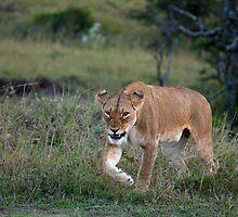 Lioness on the Masai Mara by Sue Robinson
